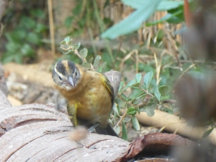 curious grosbeak