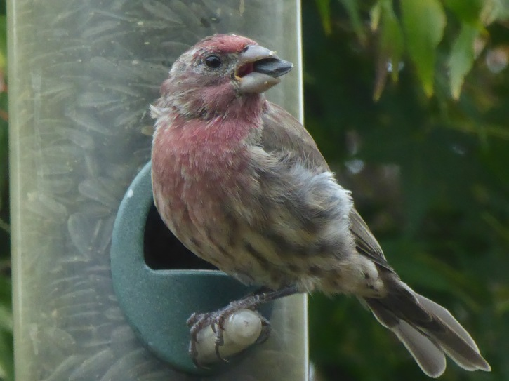 House Finch juv male
