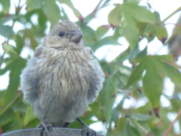 House finch juvenile