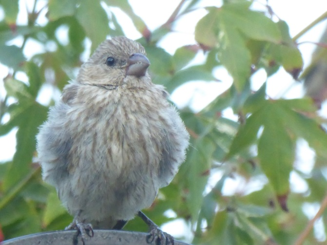 House finch juvenile