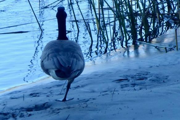 Goose on one leg