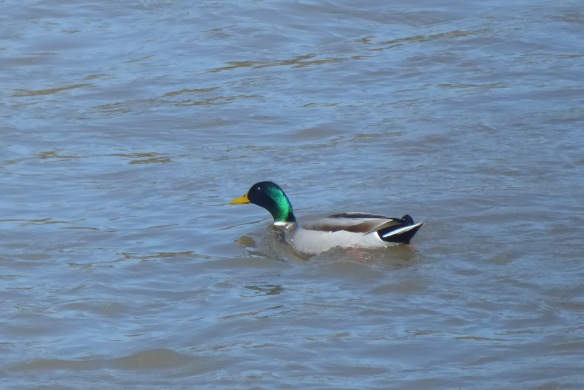 Mallard paddling nowhere